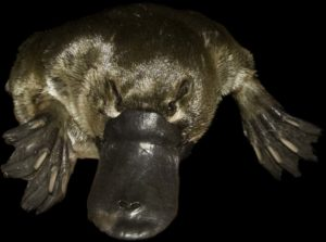 platypus-cropped-black-bg_mg_9669-edit-9669